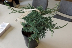Bonsai_-_Blue_carpet_juniper.jpg